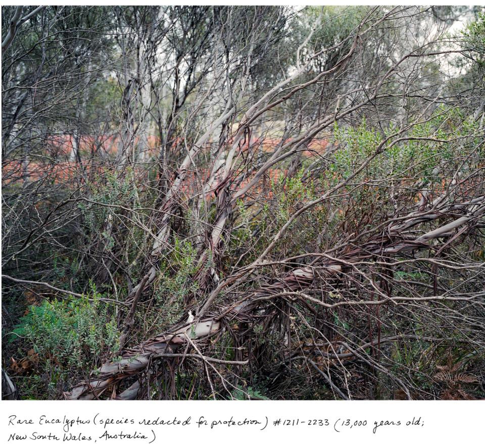 NSW_Eucalyptus_1211_2233